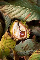 Conker. Aesculus hippocastanum - Common Horse Chestnut