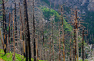 Trees on a slope near the top of Mt. Lemmon