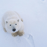 A large male polar bear (Ursus maritimus) sniffing the air. Cape Churchill, Hudson Bay, Canada