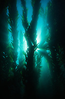 Bladder kelp forrests underwater at the Channel Islands National Marine Sanctuary, California; shot at Catalina Island