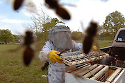 Bees swarm the photographer's camera as Dick Counts, Executive Director of the East Texas Beekekpers Association encases part of a honey comb into a wooden frame that will be the permanent home of the bees once they are taken from the metal drum they had invaded into a box shaped hive. Photo: Jaime R. Carrero/Tyler Morning Telegraph