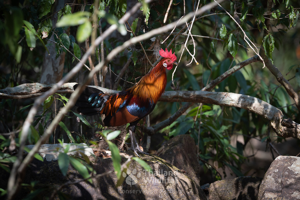 The red junglefowl (Gallus gallus) is a tropical member of the family Phasianidae. It is the primary progenitor of the domestic chicken. The red junglefowl was first domesticated at least 5000 years ago in Asia. Since then, its domestic form has spread around the world.