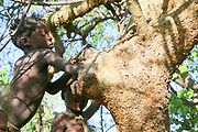 Hadza men collect honey, an important energy food, from a beehive after smoking the bees to pacify them. Photographed at Lake Eyasi, Tanzania