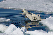 Amazing images of Polar bears taken by award wining photographer Sue Forbes, Polar Bear, Olga Strait, Spitsbergen, Norway<br /> <br /> Polar Bear cubs jumping across water in the pack ice, Svalbard, Norway<br /> ©Sue Forbes/Exclusivepix