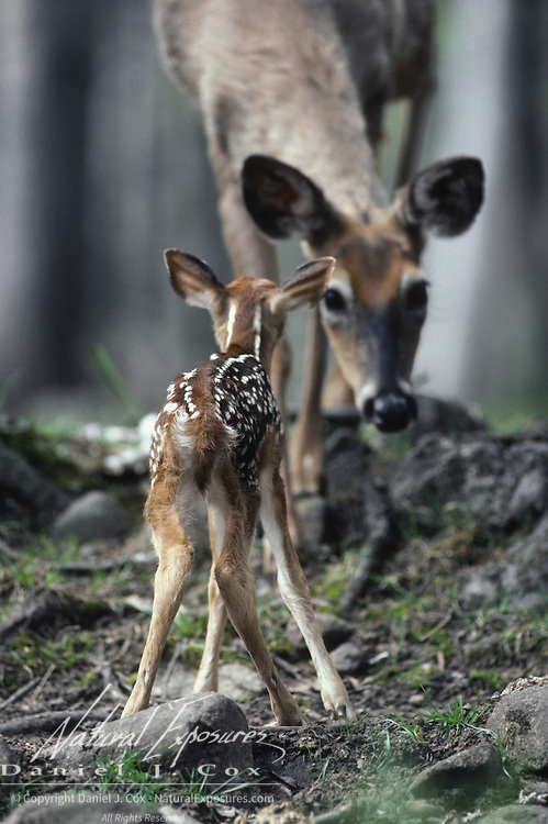 Newborn Whitetail Deer (Odocoileus virginianus) fawn approaching an adult it thinks is its mother. Wisconsin