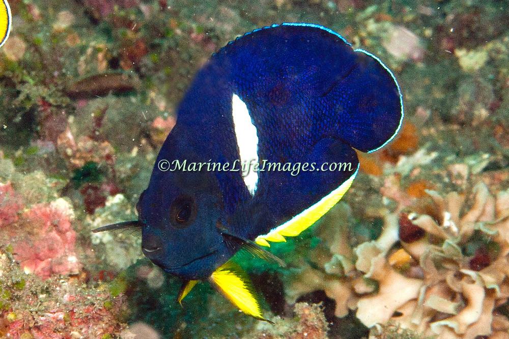 Keyhole Angelfish inhabit reefs. Picture taken Lembeh, Indonesia