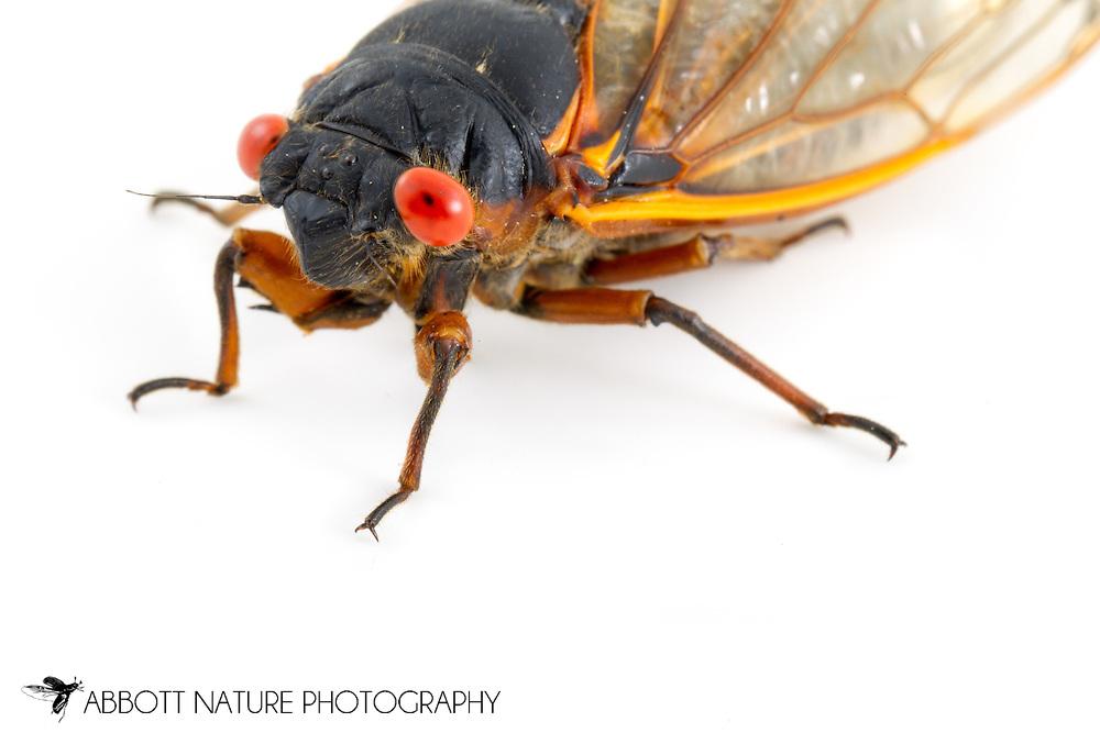 Decim Periodical Cicada (Magicicada septendecim)<br /> NEW JERSEY<br /> New Brunswick<br /> 4-June-2013<br /> J.C. Abbott &amp; K.K. Abbott