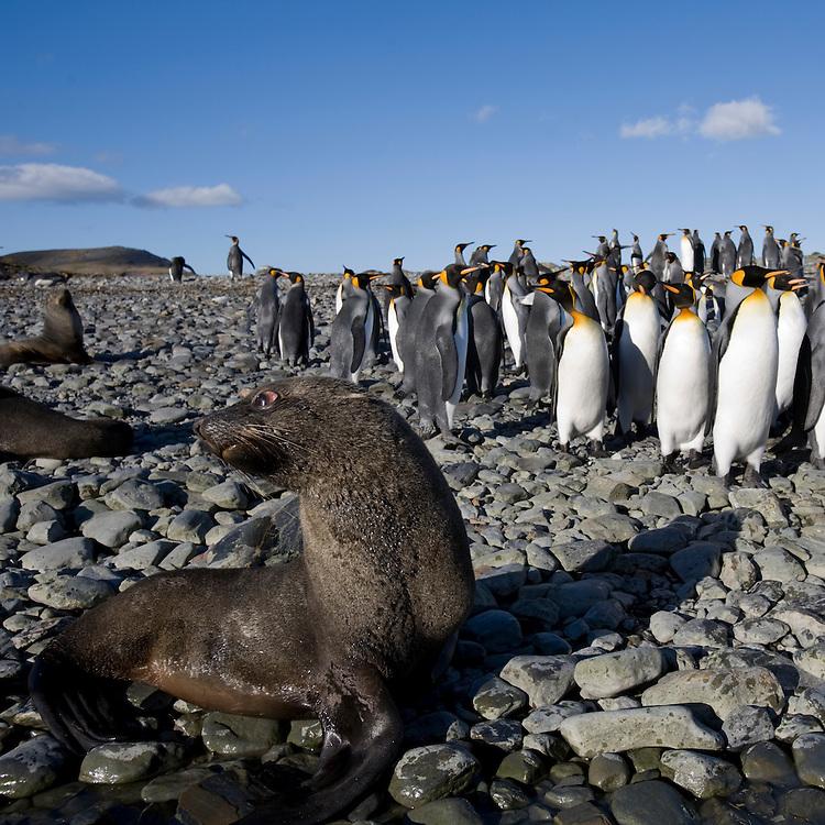 Antarctica, South Georgia Island (UK),  Antarctic Fur Seal (Arctocephalus gazella) and King Penguins (Aptenodytes patagonicus) along coast at Gold Harbour
