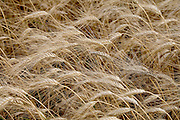 close up of wheat heads in the field