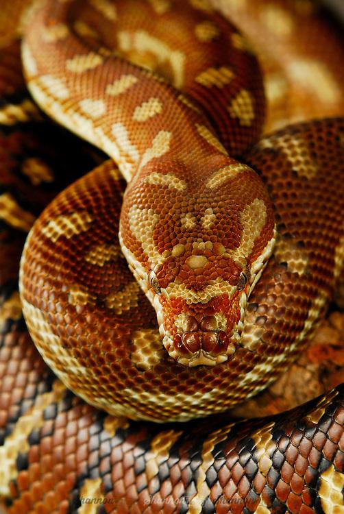 Centralian Carpet Python (Morelia bredli) is a non-venomous python species found in Australia.  Also known as Bredli Python.