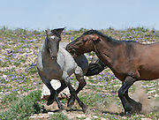 Flint and a rival stallion fight