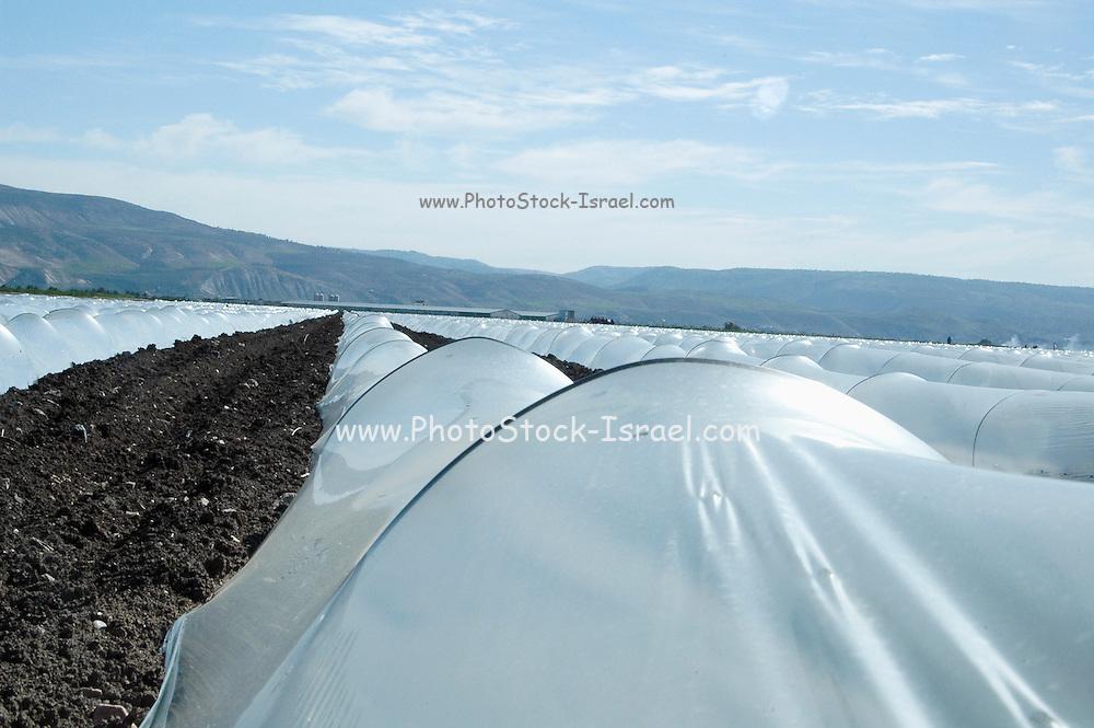 Israel, Jordan Valley, Kibbutz Ashdot Yaacov, Watermelon (Citrullus vulgaris) plants under protective plastic covers