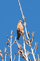 A male Red Crossbill perches in a tree rests across from a grove of pine trees.