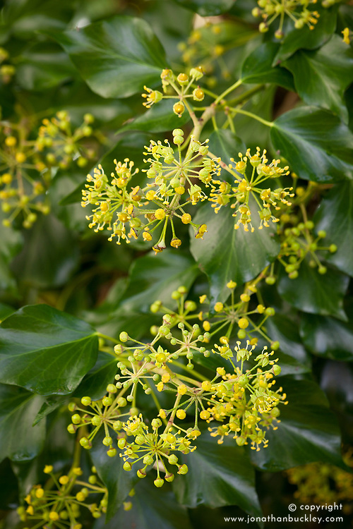 Common ivy flowering in autumn. Hedera helix