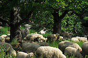 Flock of sheep grazing on meadow under oaks | Half offene Weidelandschaft. Schaf, Schafherde weidet auf Wiese unter Eichen