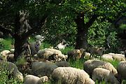 Flock of sheep grazing on meadow under oaks | Half offene Weidelandschaft. Schaf, Schafherde weidet auf Wiese unter Eichen