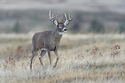 Trophy White-tailed Buck, Western Montana
