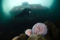 Under the red house, edible sea urchins, Klas Malmberg.Atlantic marine life, Saltstraumen, Bodö, Norway.Model release by photographer