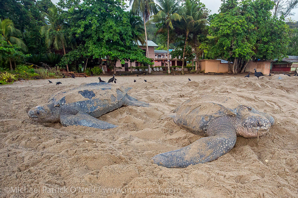 Female Leatherback Sea Turtles, Dermochelys coriacea, nest side by side  at sunrise on Grand Riviere, Trinidad, and returns to the Caribbean Sea. During peak nesting season in late May / early June, this beach will receive roughly 300 nesting Leatherback every night, making it one of the busiest and most important nesting locations in the world for the critically endangered species.