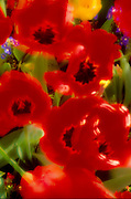 Red poppies in the wind, abstract