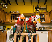 Parrot's at Yvonne McMillan's sanctuary on the small island of Kerrera, of the west coast of Scotland, near Oban.<br /> <br /> New arrival Macaws in the kitchen at the sanctuary in a sorry condition with hardly any feathers.