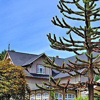 Araucaria Araucana Tree in Frutillar, Chile<br /> The araucaria araucana tree is indigenous to Central and Southern Chile and grows in the Andean foothills. Called the pewen by the locals and the monkey puzzle tree by others, this evergreen is the country&rsquo;s national tree. Although it is protected from harvesting, the seed-filled cones are often collected as food.  The leaves are tough with sharp edges. This hardy member of the conifer genus can grow up to 150 feet and live beyond a thousand years.