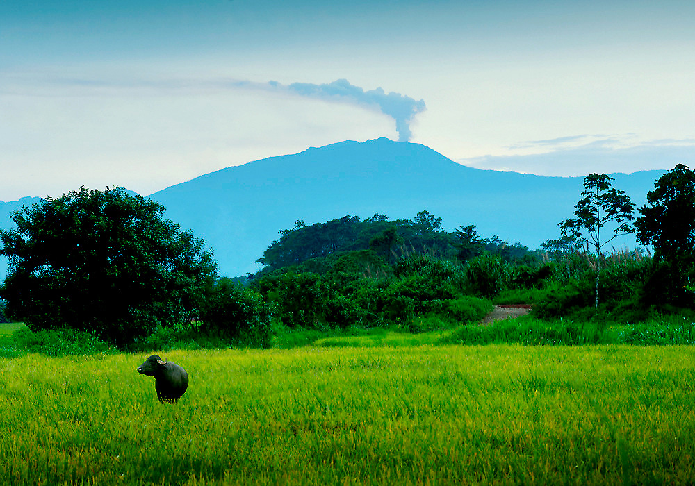 Water buffalo stands in a rice field and in the background an erupting Turrialba Volcano continues its recent activity in the province of Sarapiqui, Costa Rica.