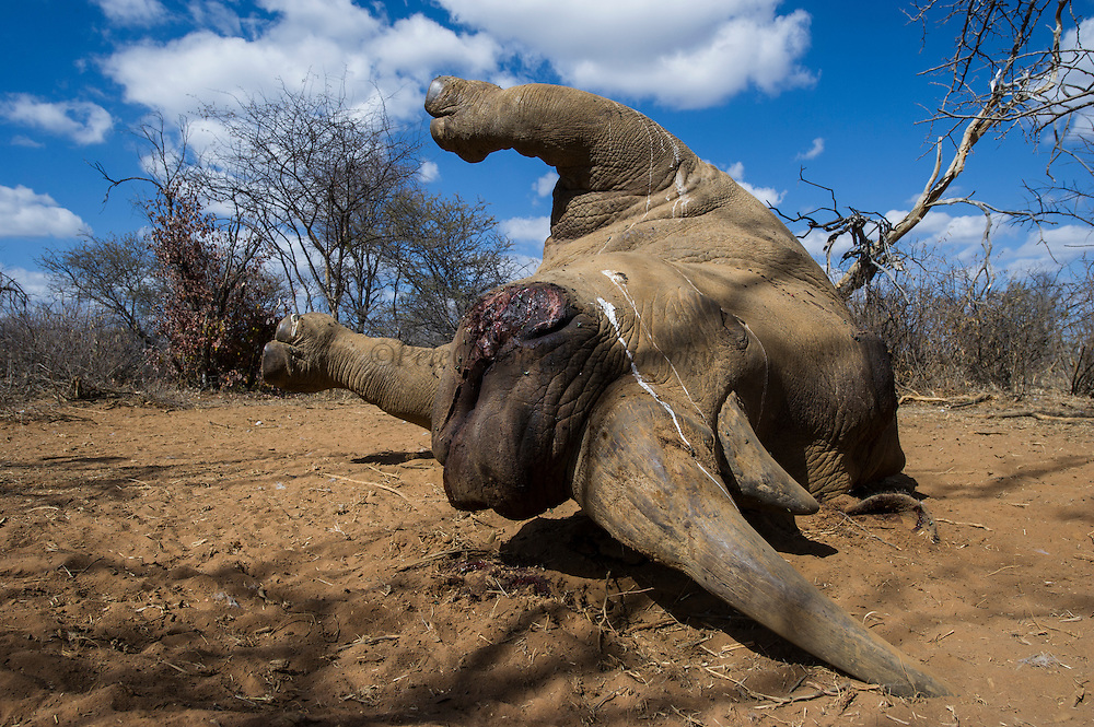 Poached White rhinoceros (Ceratotherium simum)<br /> <br />  Province<br /> SOUTH AFRICA<br /> RANGE: Southern & East Africa<br /> ENDANGERED SPECIES<br /> This animal died from bullet wounds sustained from poachers who did not find it before the game scouts and therefore did not get the horns
