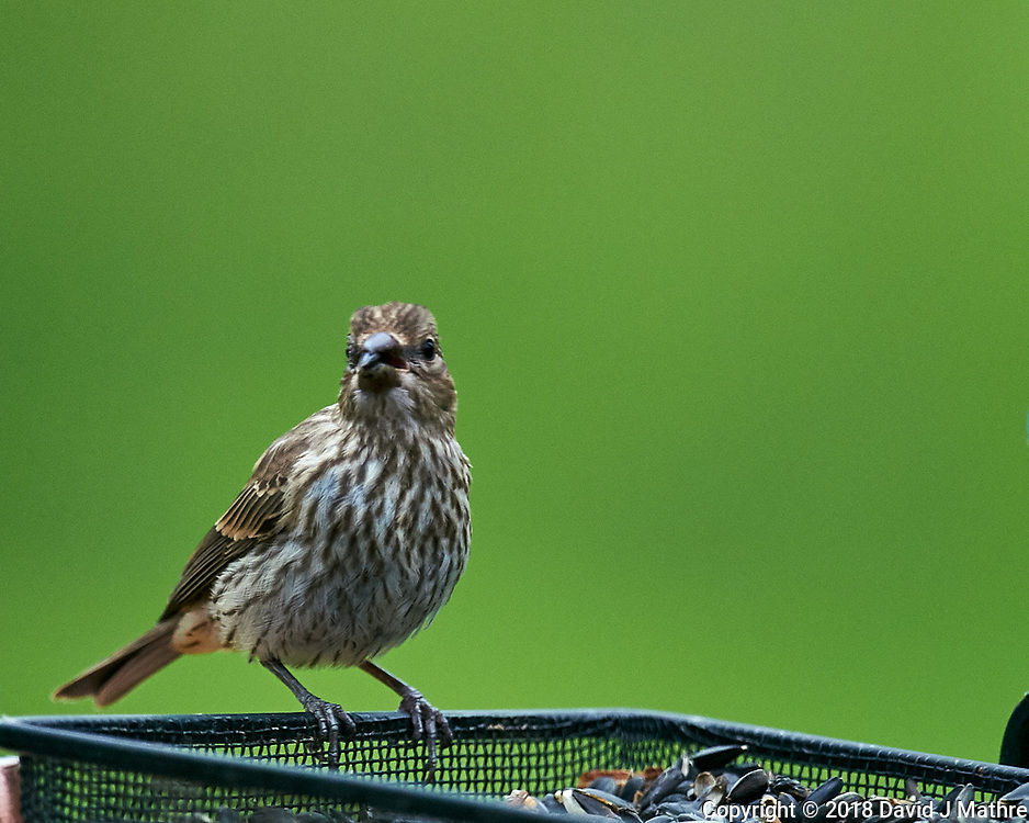 Finch at the Bird Feeder. Image taken with a Nikon D4 camera and 600 mm f/4 VR lens