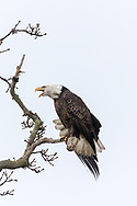 An adult Bald Eagle (Haliaeetus leucocephalus) stretches and vocalizes at a passing Eagle while on a tree branch near Boundary Bay in Delta, British Columbia, Canada.