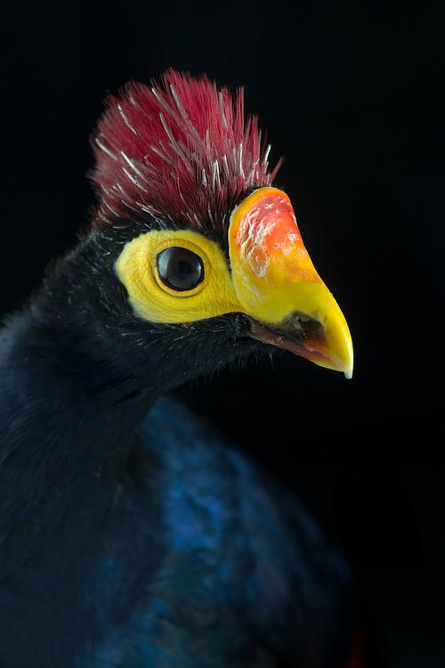 Lady Ross Turaco, (Musophaga rossae), captive, credit: Pandemonium Aviaries/M.D.Kern