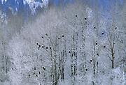 Bald Eagle, Winter, Snow, Chilkat River, Haines, Alaska