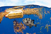A Gray Triggerfish, Balistes capriscus, hovers below garbage floating in the open Atlantic offshore Palm Beach, Florida.
