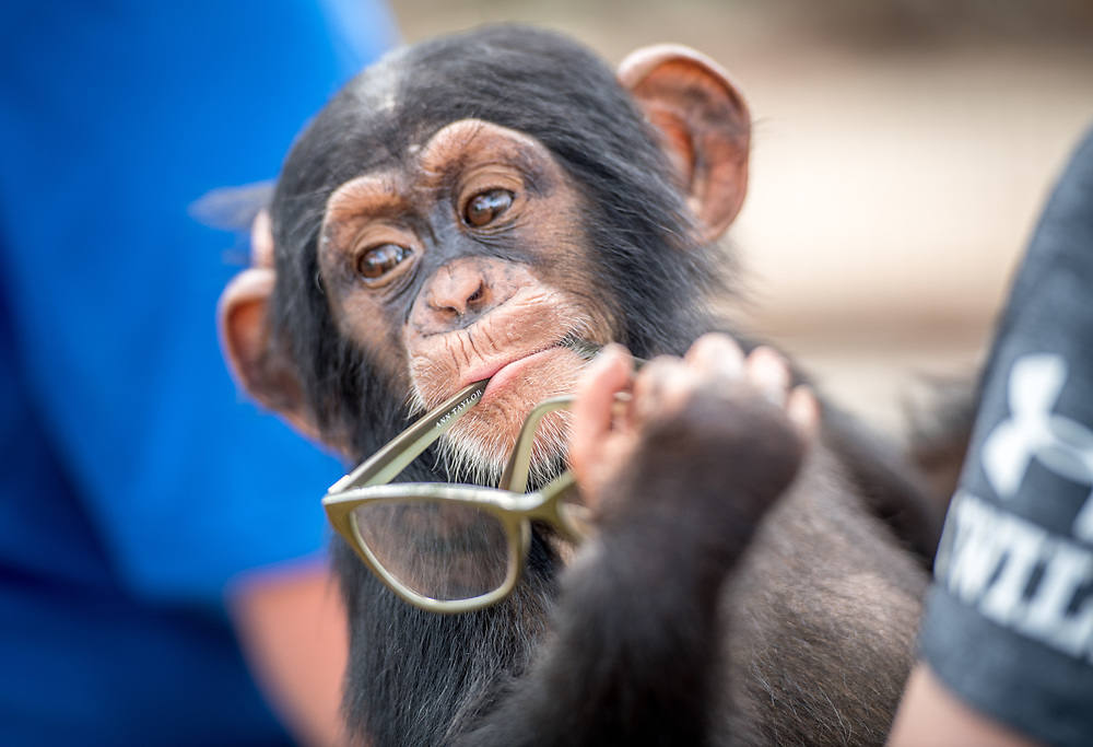 A silly baby chimpanzee (Pan troglodytes) puts the glasses he has stolen in his mouth, Ganta Liberia
