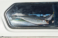 Cape Salmon catch in the back of a vehicle, Struisbaai Harbour, Struisbaai, Western Cape, South Africa