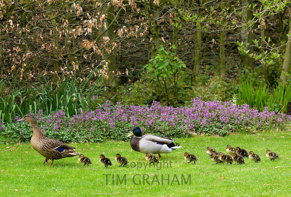 Mallard duck and drake with their ducklings