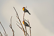 Yellow-headed Blackbird (Xanthocephalus xanthocephalus) - perched in a tree, Jocotopec, Jalisco, Mexico