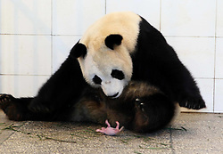 Image ©Licensed to i-Images Picture Agency. 28/06/2014. <br /> 61774448<br /> Giant panda Qing Qing carries her newly-born cub in the mouth at the Bifengxia Base of China Giant Panda Protection and Research Center in Ya an City, southwest China's Sichuan Province, June 28, 2014. Qing Qing gave birth to her baby for the first time on June 27 afternoon. Picture by  imago / i-Images<br /> UK ONLY