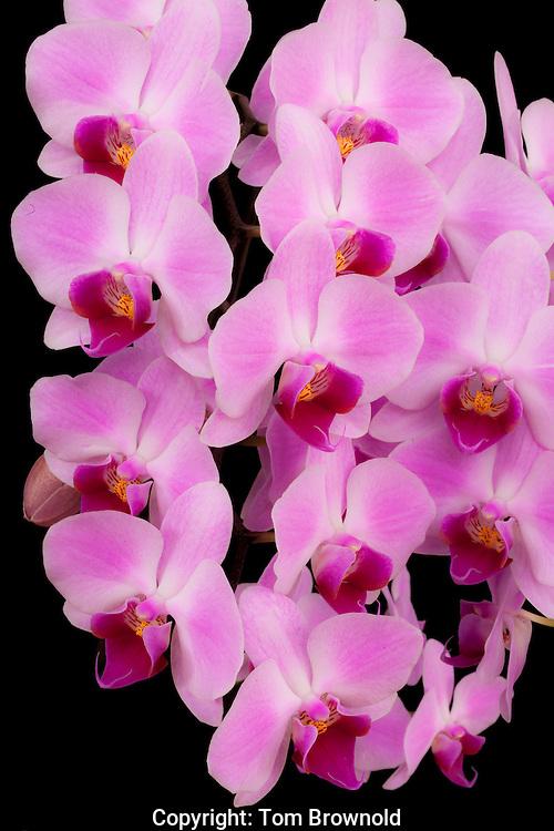 Blooming phalaenopsis Orchid
