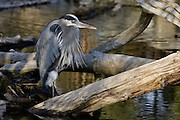 IDAHO. Boise. Morrison-Knudsen Nature Center. Great Blue Heron fishing in pond in winter. February 2006. #bh060216