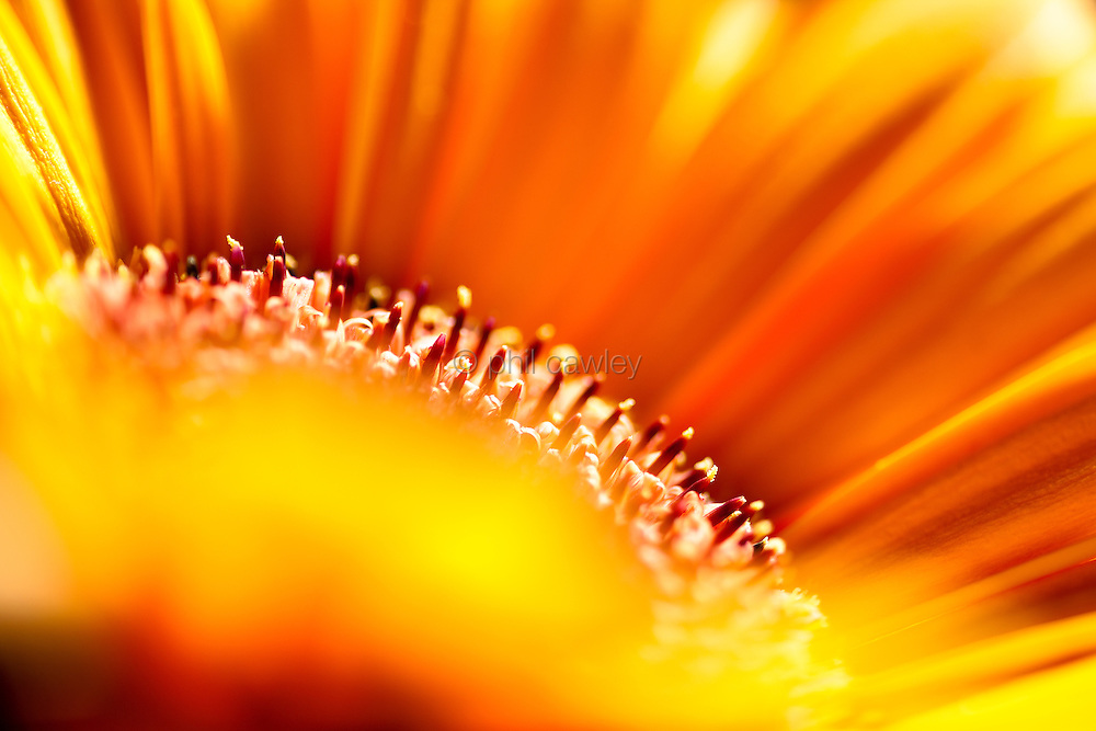 Abstract orange Gerbera Flower