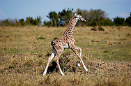 A baby giraffe runs free in the plains of the Maasai Mara just days after born. (PHOTO: MIGUEL JUAREZ LUGO).