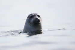 Harbor Seal (Phoca vitulina) in Svalbard