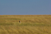 Lioness hunting, using cover of long grass, Serengeti National Park, Tanzania.