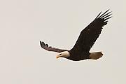 Bald Eagle (Haliaeetus leucocephalus) (Halietus leucocephalus) flies over Hood Canal in Puget Sound Washington, USA