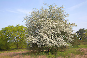 Spring white flowering hawthorn bush on heathland in May, Shottisham, Suffolk, England
