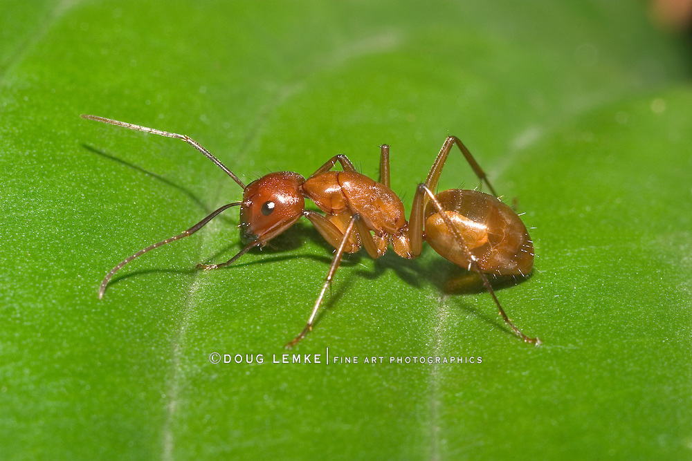 Red Carpenter Ant, Or Pyramid Ant On A Leaf