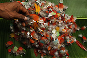 Feathers for Huaorani Indian crown. Gabaro Community. Yasuni National Park. Amazon rainforest, ECUADOR.  South America<br /> First a basket-like weave fibre ring is made. Then feathers collected from hunted toucans, parrots, macaws and other colourful birds are stuck on with heated beeswax. Macaw tail feathers - standing up are sometimes added later.<br /> This Indian tribe were basically uncontacted until 1956 when missionaries from the Summer Institute of Linguistics made contact with them. However there are still some groups from the tribe that remain uncontacted.  They are known as the Tagaeri. Traditionally these Indians were very hostile and killed many people who tried to enter into their territory. Their territory is in the Yasuni National Park which is now also being exploited for oil.