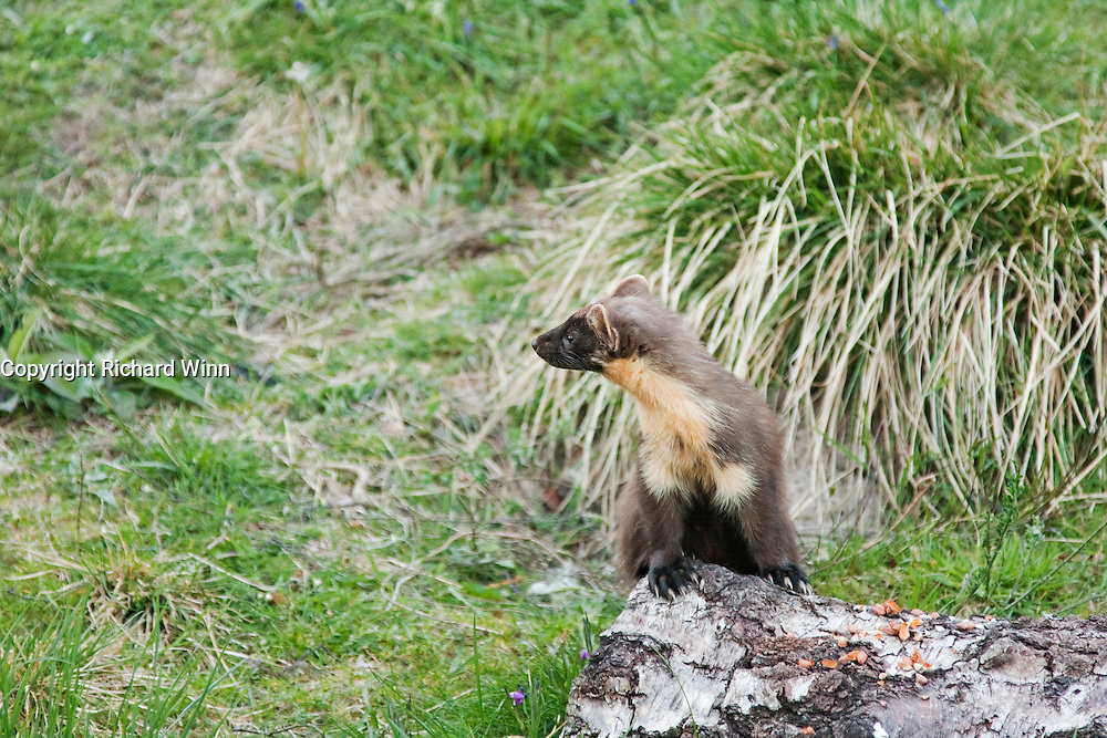 A pine marten keeping a lookout for possible danger while eating peanuts at a feeding station. Manually focussed to ensure sharp focus on the eye. A proportion of the proceeds will be donated to the Aigas Trust, a charity providing environmental education to children,