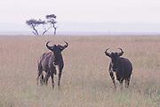 Kenya, Masai Mara, a herd of Wildebeest (Connochaetes taurinus)